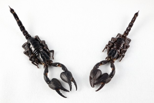 black couple of scorpion claw