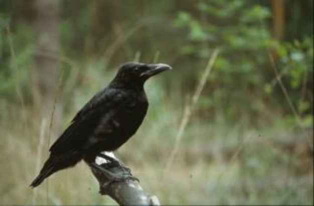 black crow stopping on stick with forest background