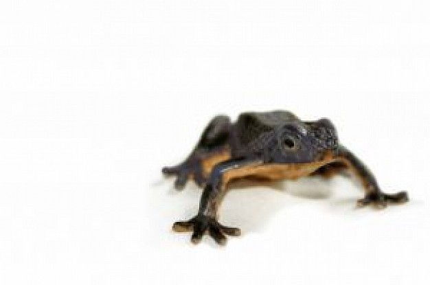 black frog in front view