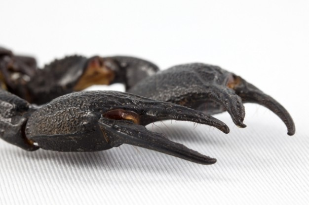 black scorpion claws close-up feature