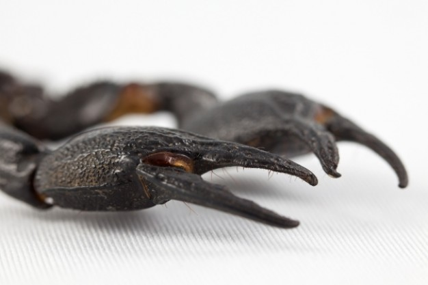 black scorpion claws in side view