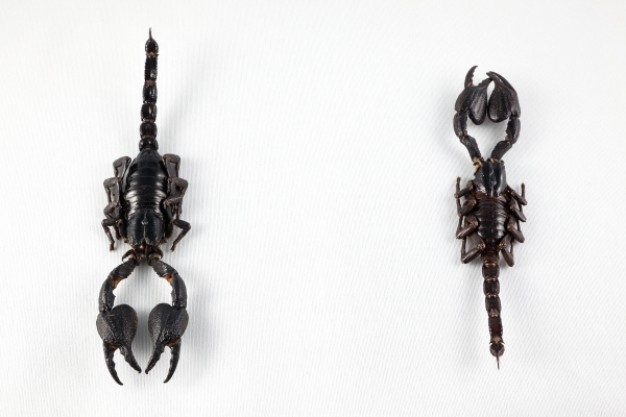black scorpion pair in front and back