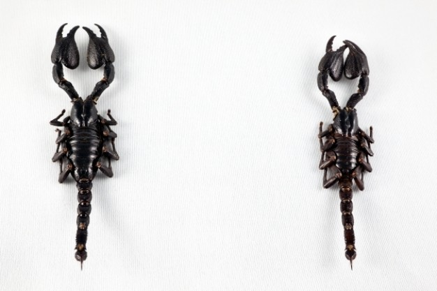 black scorpion pair over gray background