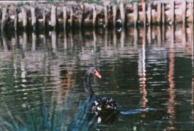 black swan bird swimming on lake with bridge at back