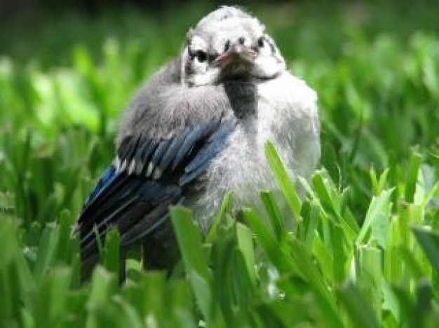 blue jay baby sitting at grass
