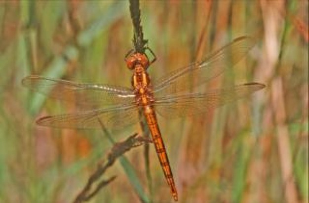 brown body dragonfly close-up animal with lucid wings