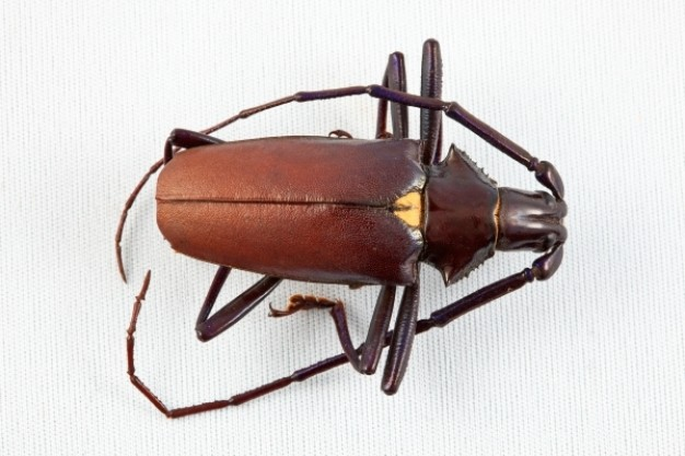 brown pyrodes longiceps beetle in top view