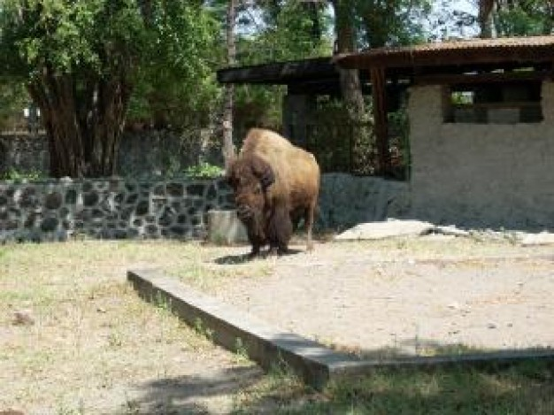buffalo at surabaya zoo with house tree background download free animals photo thetopfree