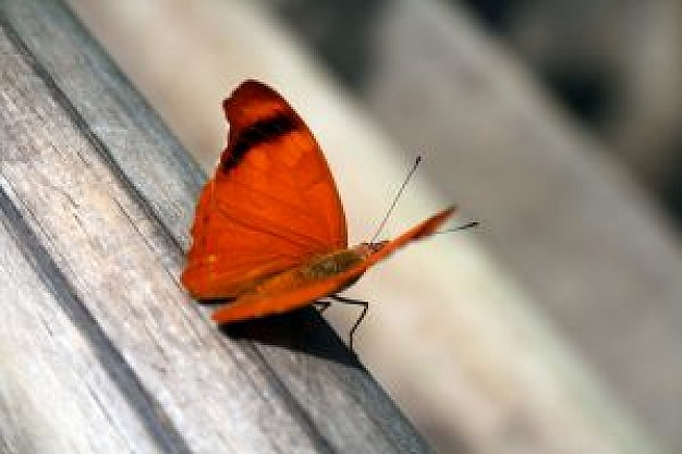 butterfly in orange stopping on a wooden floor