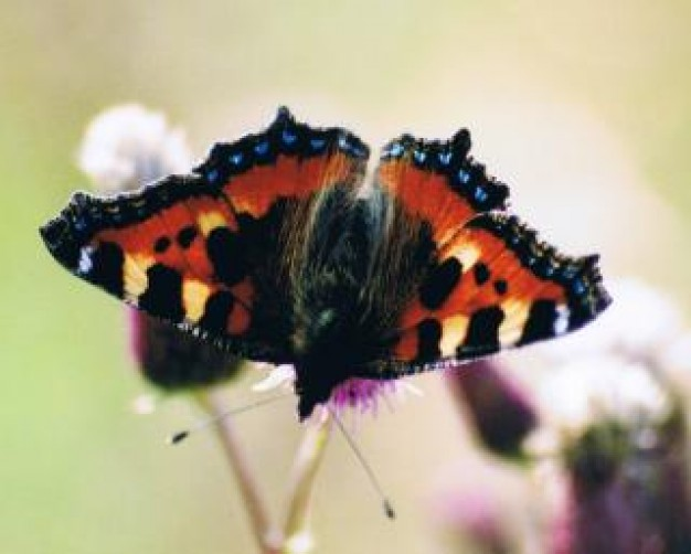 butterfly with black and orange decorative design