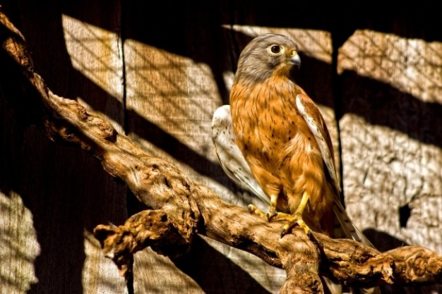 captive peregrine falcon bird in sunshine cage