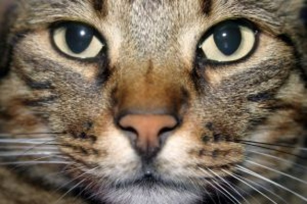 cat face close-up Portrait in front view
