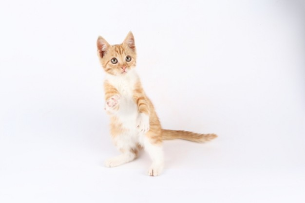 cat pet standing and playing animal