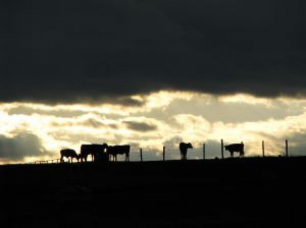 Cattle bovine Livestock skyline about under sunset background Agriculture and Forestry