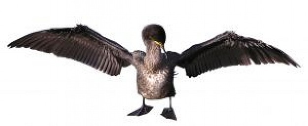 cormorant front view opening wings