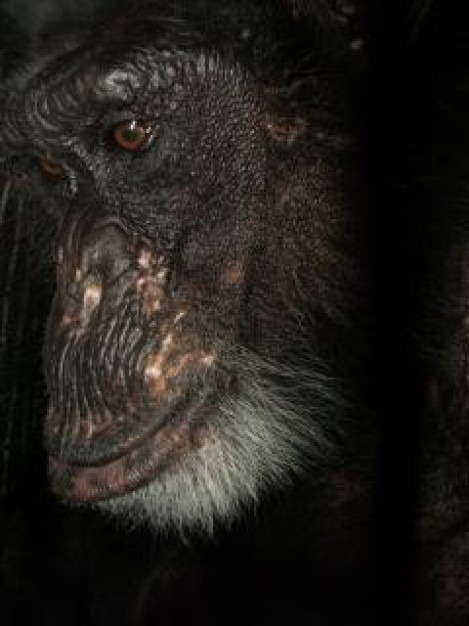 cotton the chimp Monkey looking at something over dark background