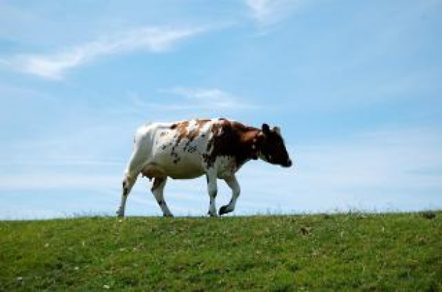 cow on a dike with grassland and blue sky background
