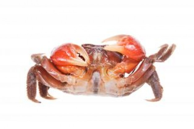 Crab Exoskeleton in front view close-up about Food Fish and Seafood