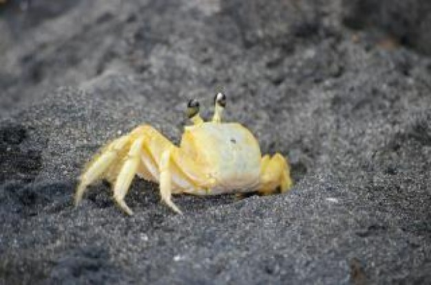 crab on gray beach with yellow shell