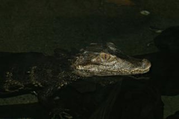 crocodile swimming in dark light