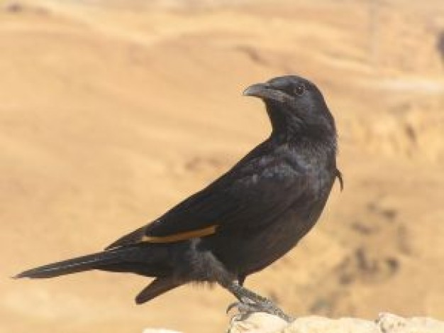 crow starling watching out at desert