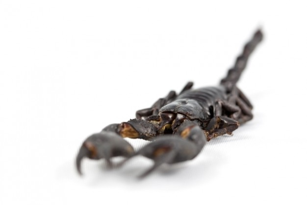 dark brown scorpion with body in focus