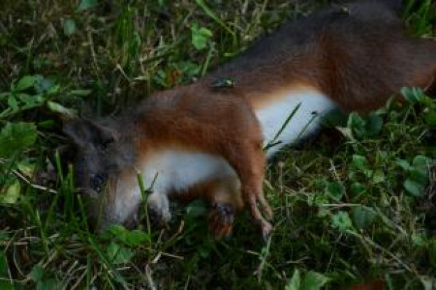 dead squirrel with hard-shelled body lying at grass