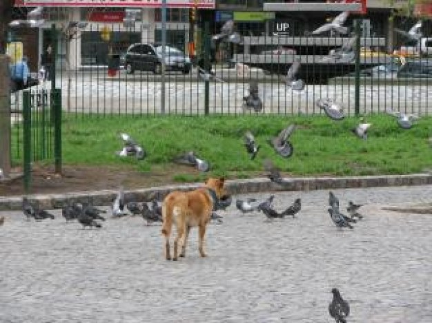 dog chasing pigeons at road with houses at background