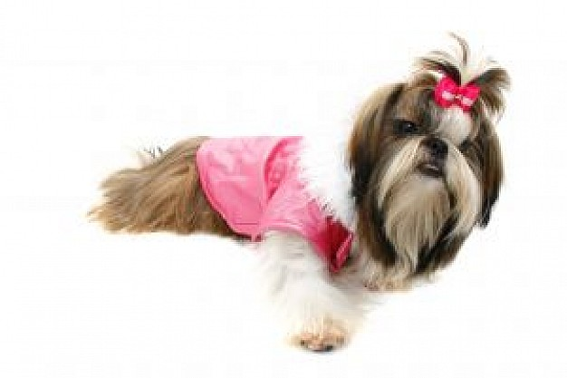 dog with pink clothing and hair line