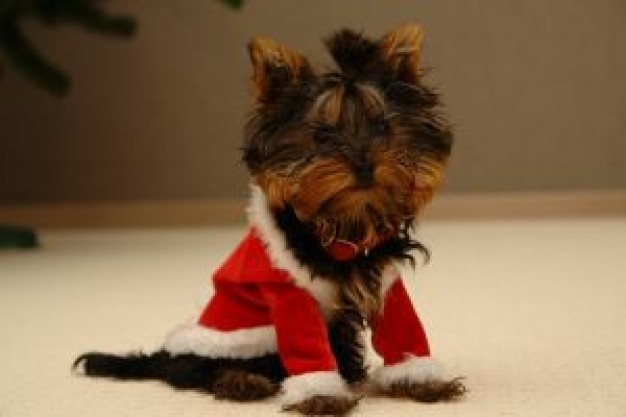 dog with santa clothes sitting on the floor