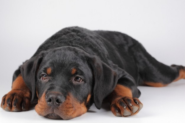 dogs home rottweilers muzzle sleeping at the floor in front view