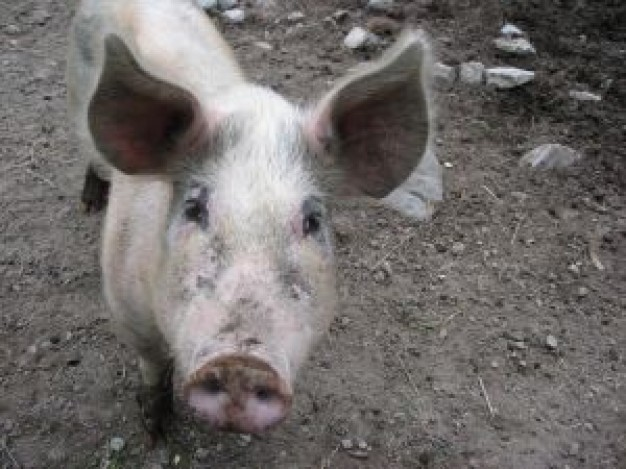 Don Mitchell pig Ironside about animal funny photo