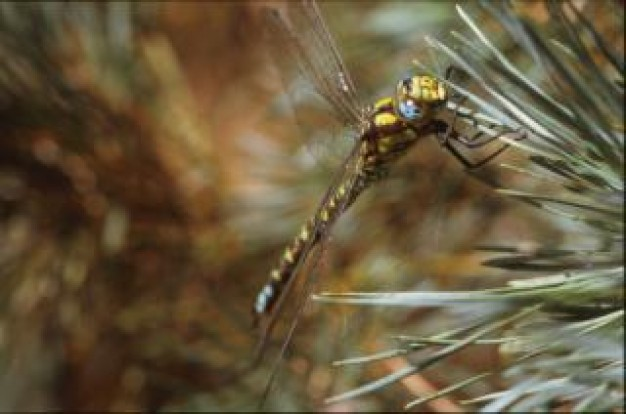 dragonfly animal close-up stopping on pine needles
