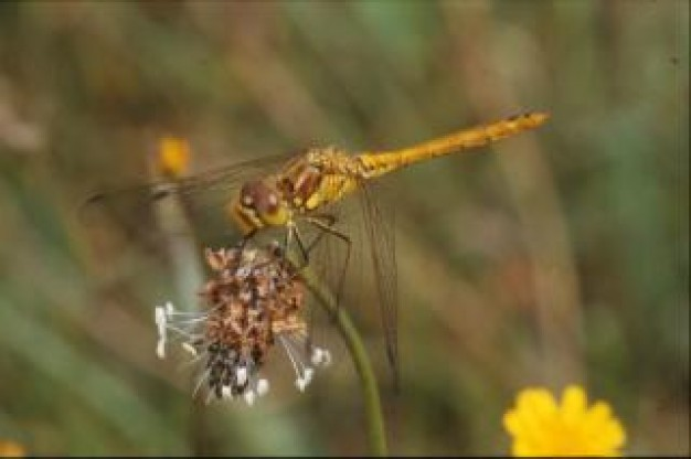 dragonfly animal wings insect closeup with yellow flower
