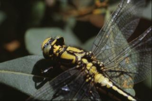 dragonfly close-up wings animal