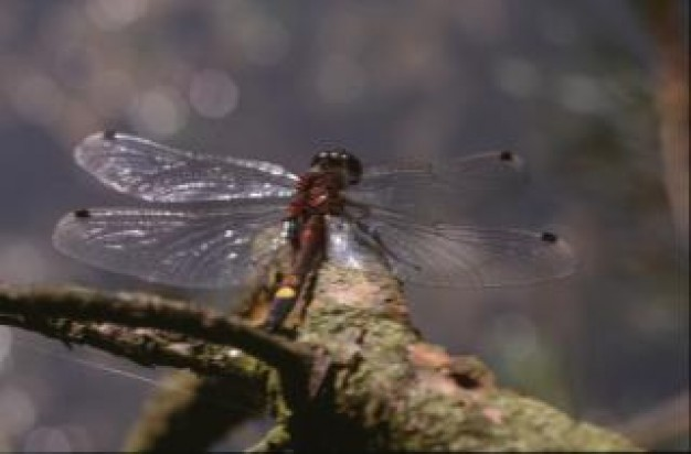 dragonfly insect animal stopping on dead tree branch