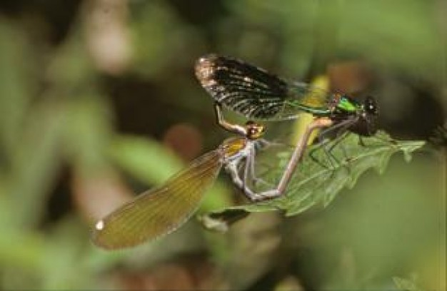 dragonfly pair animal macro close-up with nature green light