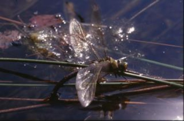 dragonfly wings macro insect stopping stick in water