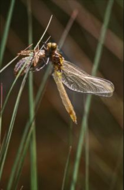 dragonfly with wings insect flying and stopping on grass closeup