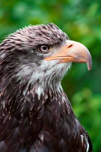 eagle close up with tree leaf nature at background