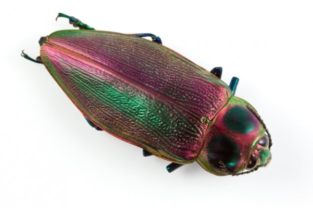 euchroma gigantea beetle with colorful Exoskeleton