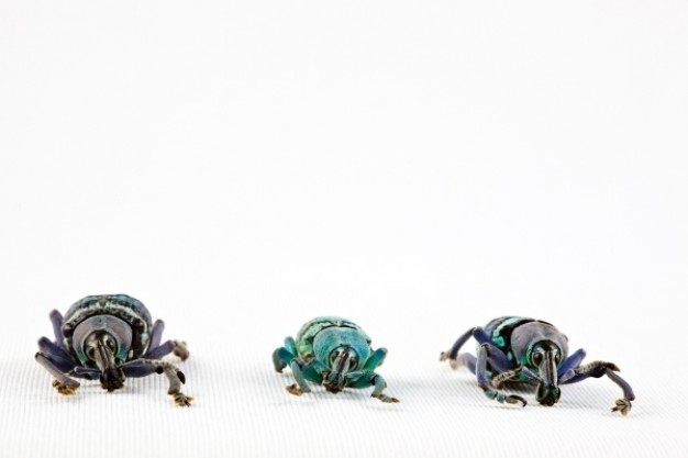 eupholus beetle trio front view turning one line
