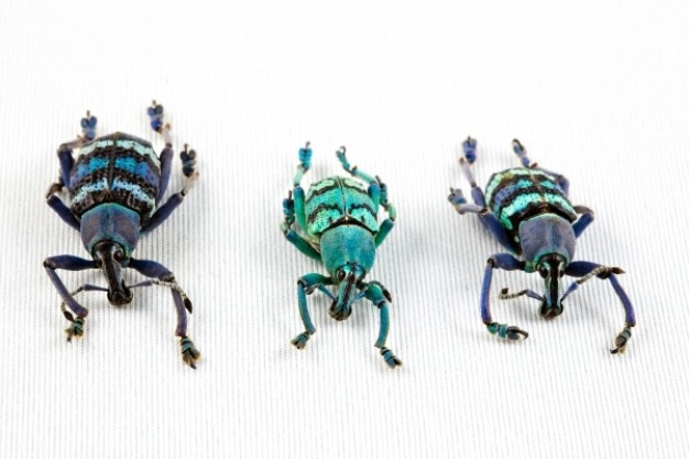 eupholus beetle trio in different color turning a line
