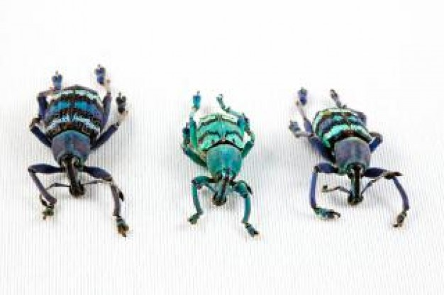 eupholus beetle trio insects turning a line