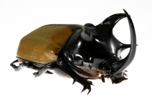 five horned rhinoceros beetle with white background