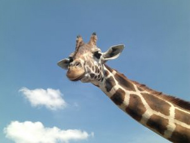 funny giraffe head with blue sky and clouds at back
