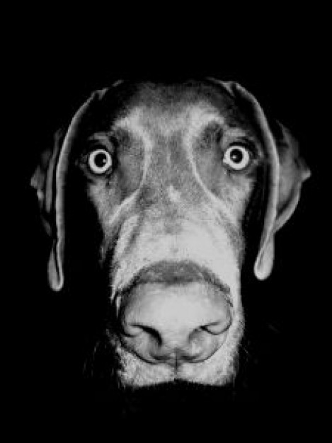 funny Weimaraner black Dog eyed dog about Art William Wegman