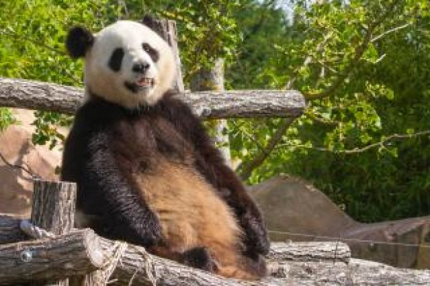 giant panda sitting on wood heap with green trees background