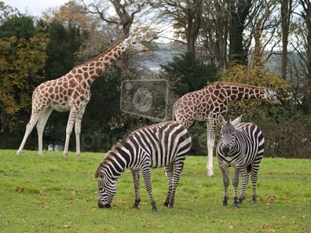 giraffe and zebra in zoo with tree