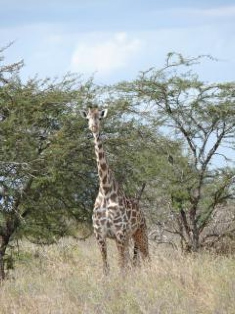 giraffe spotted under tree in africa